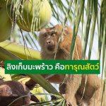 ไทยโต้ ดราม่า PETA กล่าวหาทารุณสัตว์ ใช้ลิงเก็บมะพร้าว